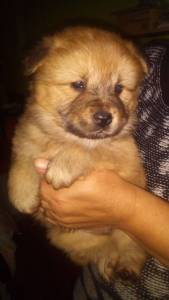 CHOW CHOW MARAVILHOSOS