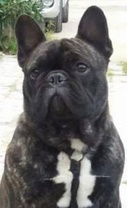 Bulldog Francês dispodisponível nival para cruzar