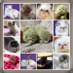 GATIL FASCINATION GATOS PERSAS EX�TICOS E BENGALS