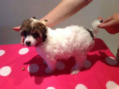 Chinese Crested Dog com LOP