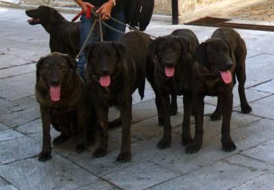 Cachorros Castro Laboreiro
