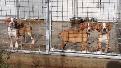 Ninhada Cachorros Perdigueiro Português