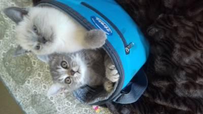 gatinhos scotc
