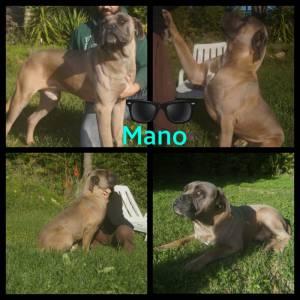 excelente ninhada cane corso italiano cão de guard