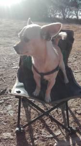 Chihuahua macho para acasalar