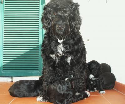 Cães de Água Portugueses com LOP linhagem premiada