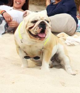Bulldog inlges