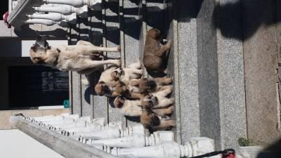 Cães de Gado Transmontano
