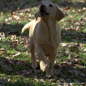 Cachorrinha amarela