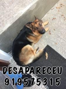 CÃO DESAPARECEU EM SANTO TIRSO