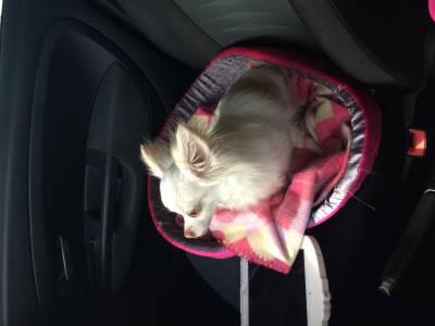 Chihuahua fêmea procura namorado
