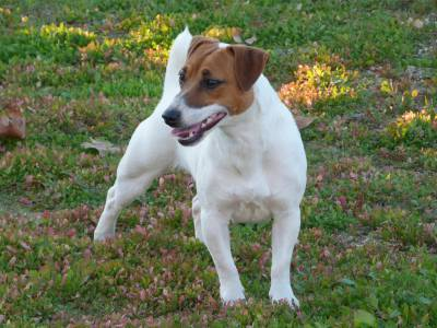 Jack Russell Terrier Progenitora