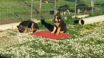 pastores alemaes com pedigre de qualidade