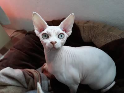 Gatinhos sphynx  sem pelo