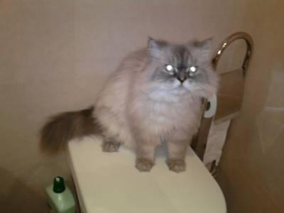 Gato persa Desaparecido