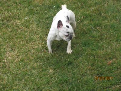 Bulldog francês adulta com pedigree