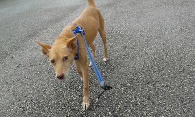 Cadela Desaparecida em Sao Joao das Lampas Sintra