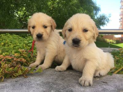 Golden Retrievers com LOP