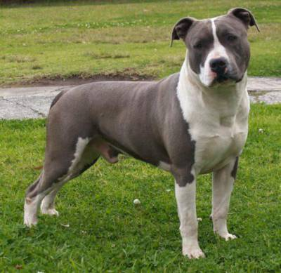 Compro American Staffordshire terrier blue nose