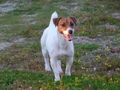 Jack Russell Terrier Ninhada disponível