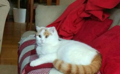 Gata Scottish Fold quer namorar com gato Brittish