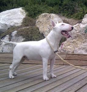 Procuro Fêmea Bull Terrier
