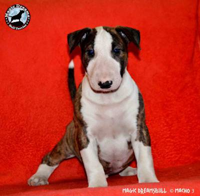 Cachorros Bull Terrier Magic Dreamsbull
