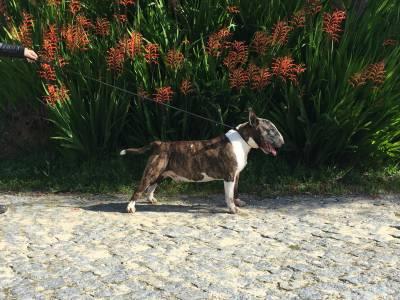 Cachorros Bull Terrier Standard