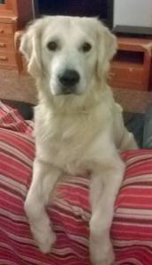 Lindo Golden Retriever procura Namorada