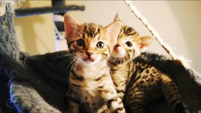 Gatos Bengal