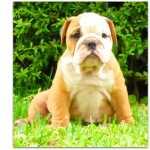Bulldog Ingl�s-cachorra