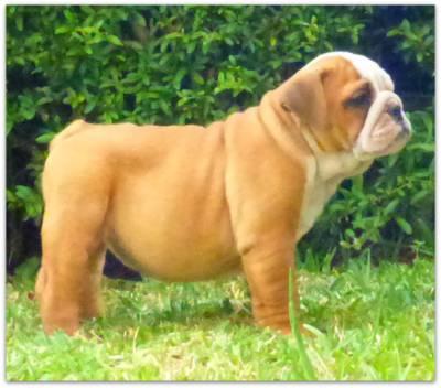 Bulldog Inglês-cachorra