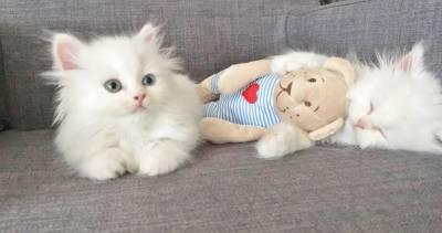 Gatinhos Persas Brancos