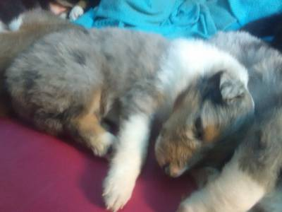 cachorrinhos rough collie para venda