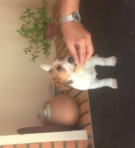 Fêmea - Jack Russell Terrier - Raça Pequena