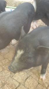 Porcos Anões