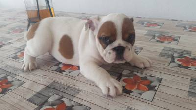Bulldog inglês com LOP