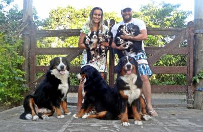 Lindos Filhotes de Bernese Mountain Dog