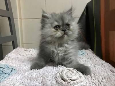 Lindos gatinhos persas