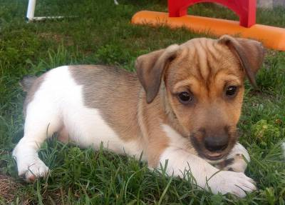 Ninhada de Jack Russell Terrier