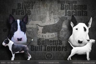 Bullema Bull Terriers - Cachorros Disponiveis