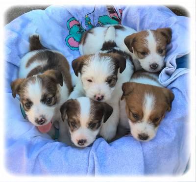 Ninhada - Jack Russell Terrier