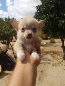 Cães Chihuahua e Pinscher