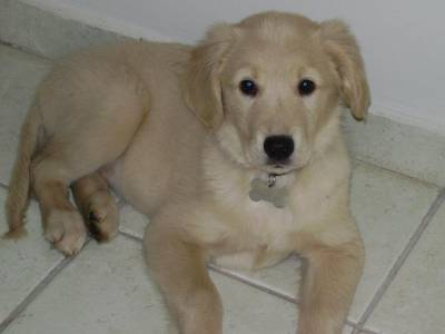 venda de filhotes de golden retriever com pedigree