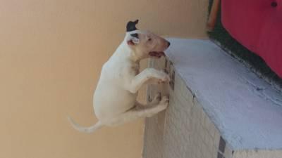 Ninhada de Bull Terrier de Focus Bulls