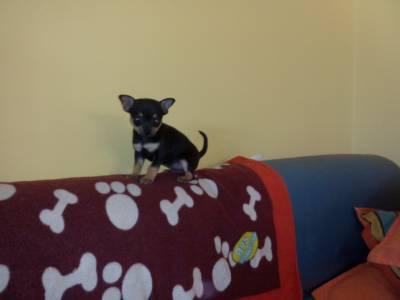 Chihuahua Miniatura - Fêmea