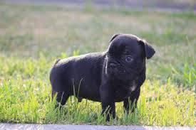 Bulldog Frances disponível p entrega