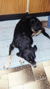 Cão perdido Foros de Amora