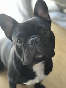 Bulldog Francês - Procuro Namorada
