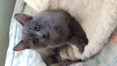 gatinhos scottis